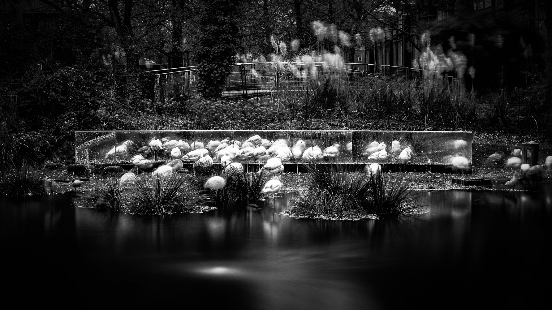A long exposure in black of white of the pink flamingos at the Artis, the Amsterdam Zoo